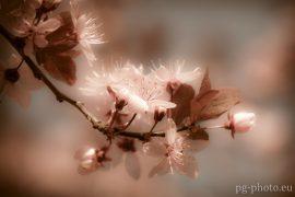 bunte Frühlingsgalerie /Blutpflaume
