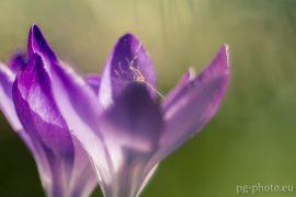 bunte Frühlingsgalerie /Krokuss