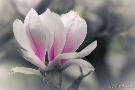 bunte Frühlingsgalerie / Magnolie