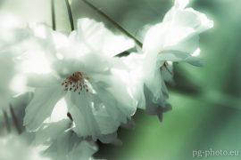 bunte Frühlingsgalerie /Zierkirsche
