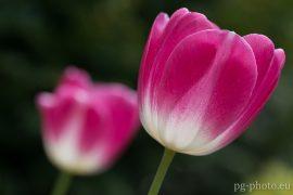bunte Frühlingsgalerie / Tulpe