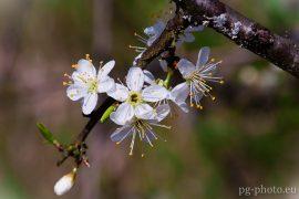 bunte Frühlingsgalerie / Schlehe