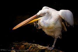 Ein Tänzchen ... (Pelikan)