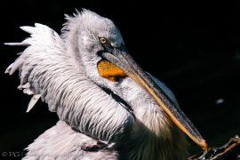 Krauskopf-Pelikan