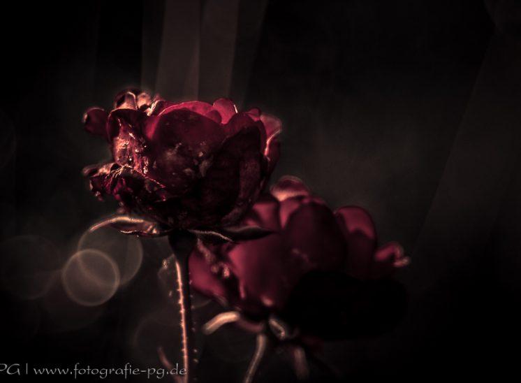Späte Rosenblüte