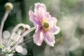 Herbst-/Japananemone I
