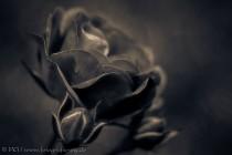 Rosenblüte mit Knospen - Variation III