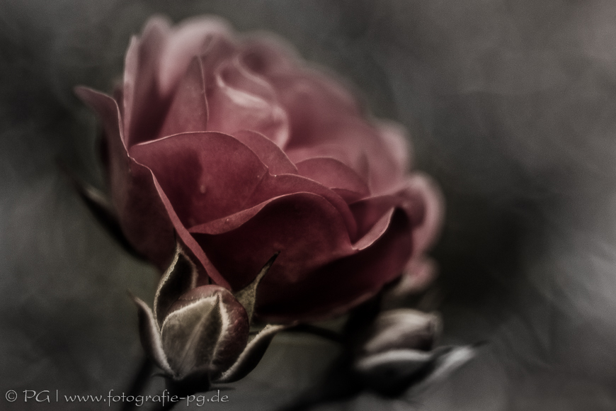 Rosenblüte mit Knospen - Variation I