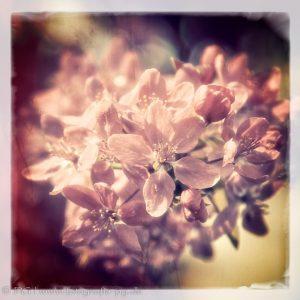 Frühlings-Baumblüten