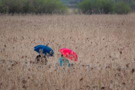 Schirme im Schilf