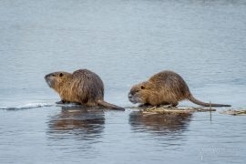 Nutria on Ice